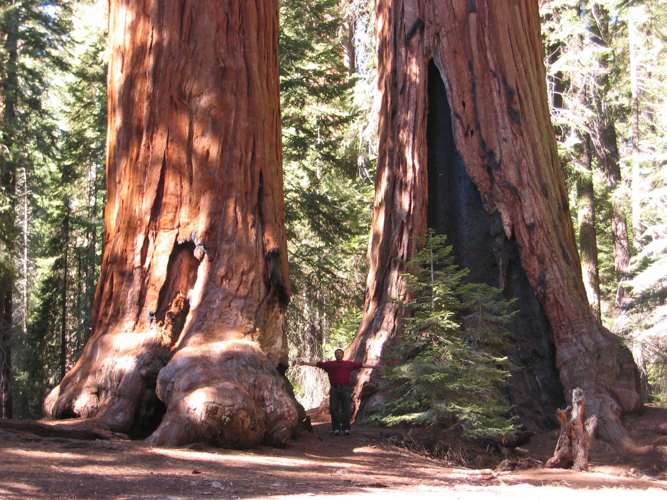 Sequoia trees.JPG