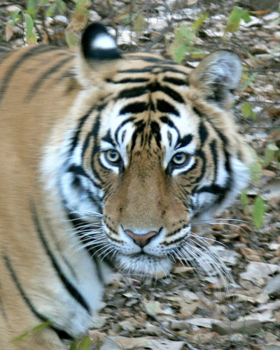 3 year-old male named Baccha (Hindi: Child) residing in the reserve.