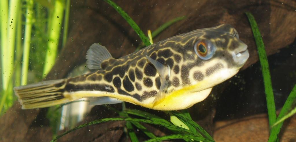 Image result for Pufferfish Venom