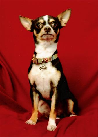 Black and tan Chihuahua dog