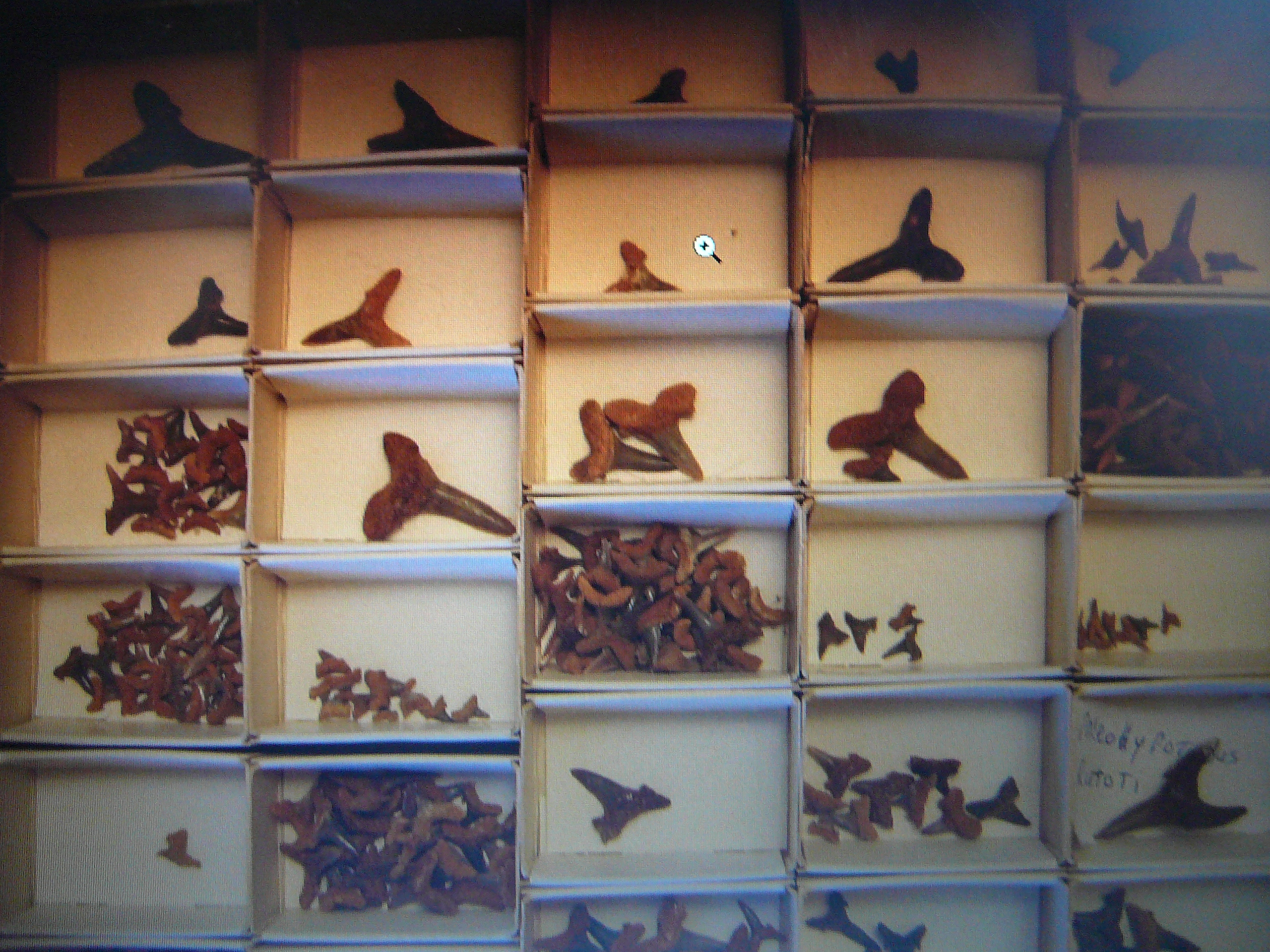 file shark tooth display 003 jpg wikipedia