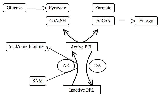 PFL as regulator of anaerobic glucose metabolism