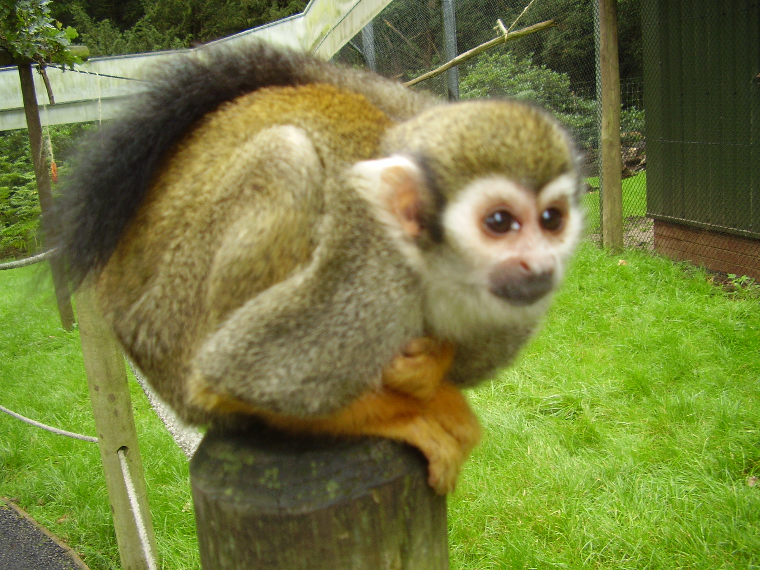 squirrel monkeys Jungle friends provides permanent sanctuary for monkeys retired from research, ex-pets, or monkeys who were confiscated by the authorities.