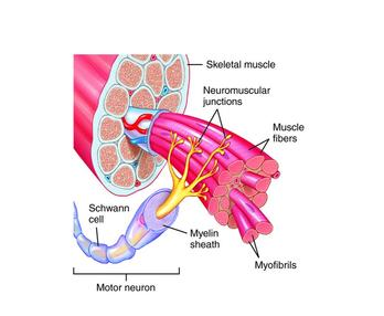 Motor pool neuroscience wikipedia for What is a motor neuron