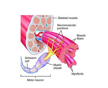 File Anatomical Diagram Of The Motor Wikipedia
