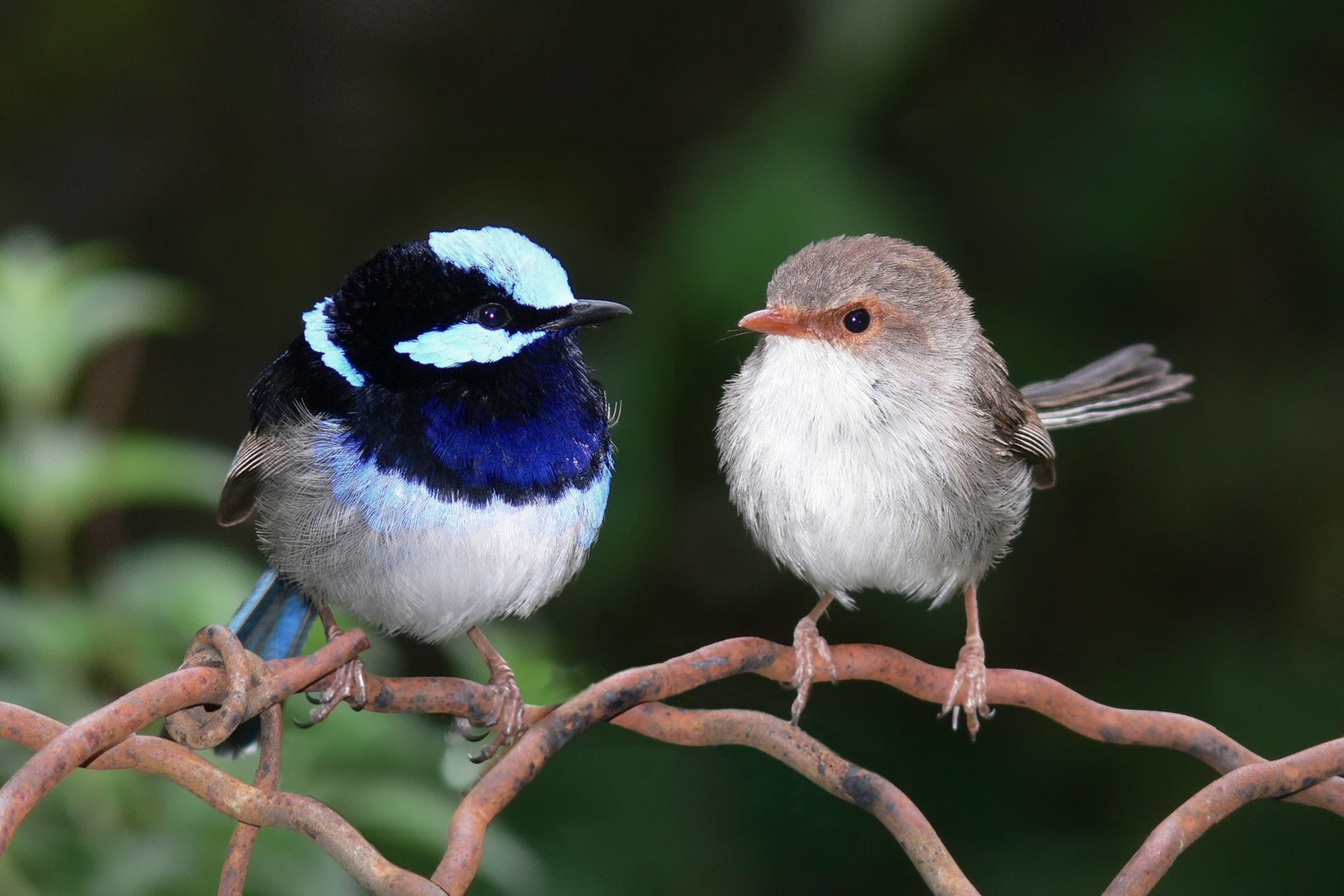 Male and female superb fairy wren edit21.jpg