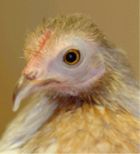 Matilda the Performing Chicken (profile).png