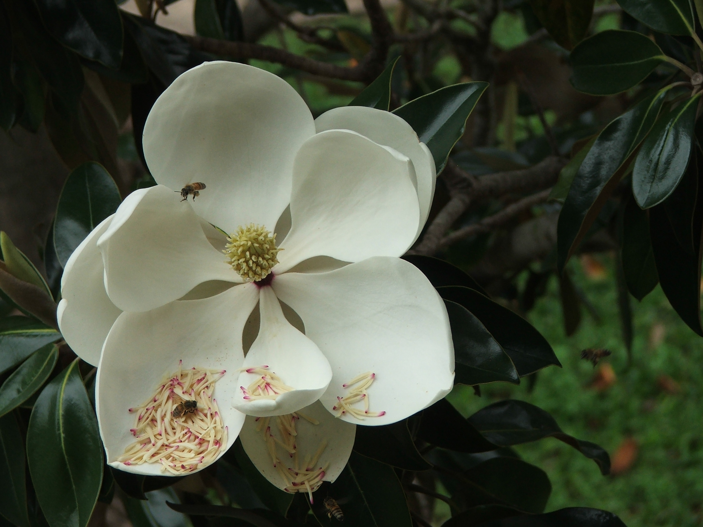 Filesouthern Magnolia Flower With Beesjpg Wikipedia