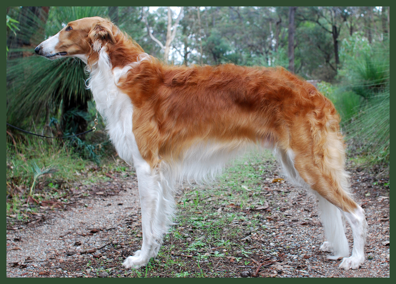 Image result for Borzoi