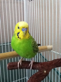 can parakeets eat watermelon