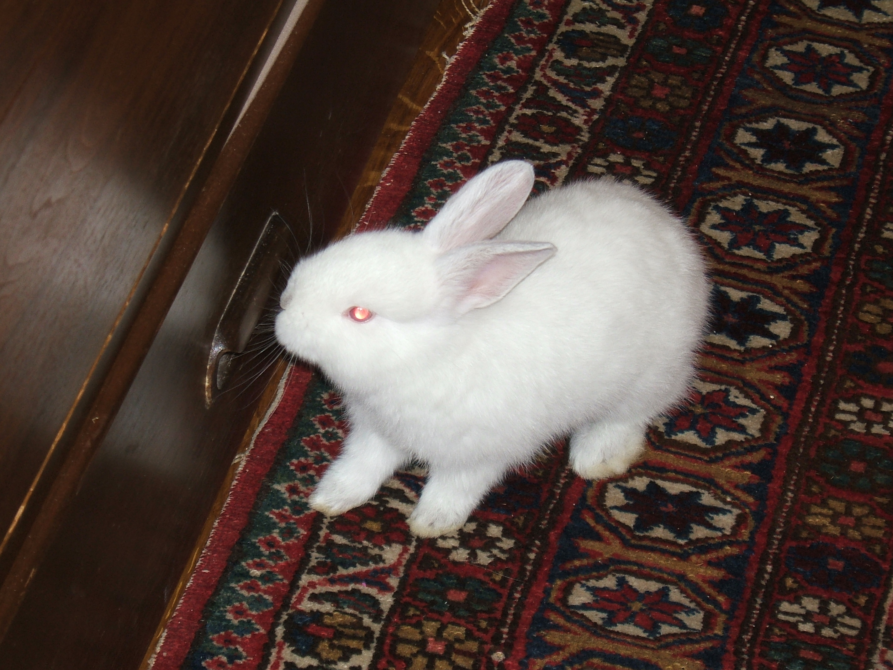 Dwarf rabbit - Wikiwand
