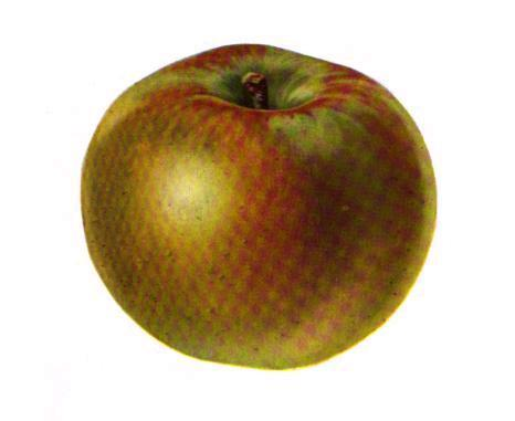 Rhode Island Greening Apple.jpg