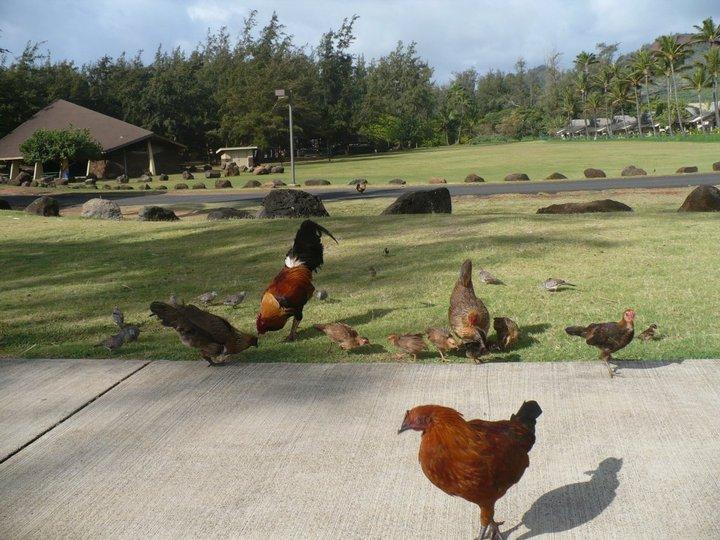 Poules en liberté sur l'île de Kaua'i