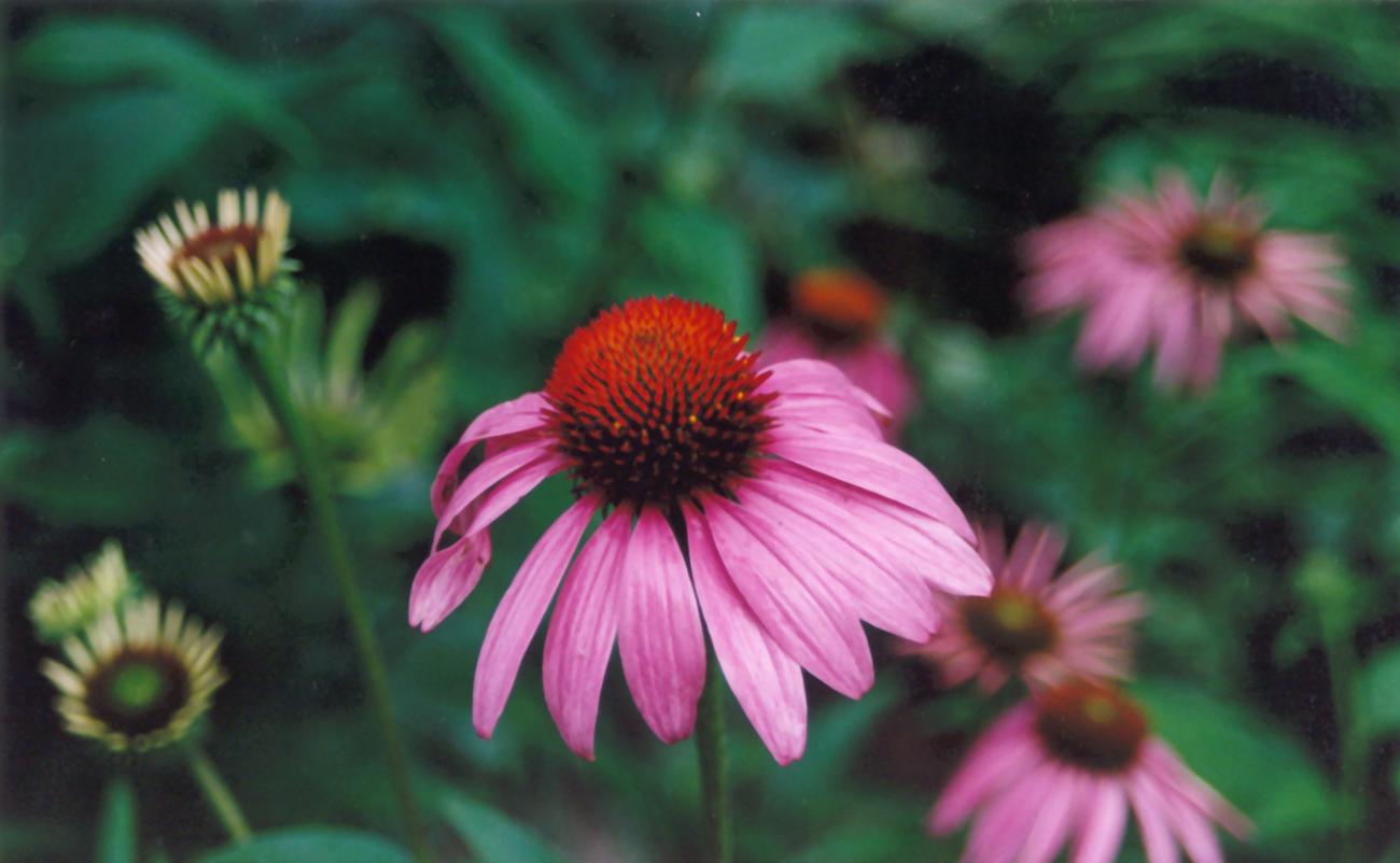 File Cone flower