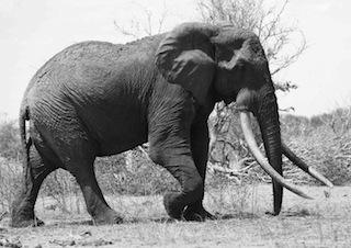 4 famous African elephants