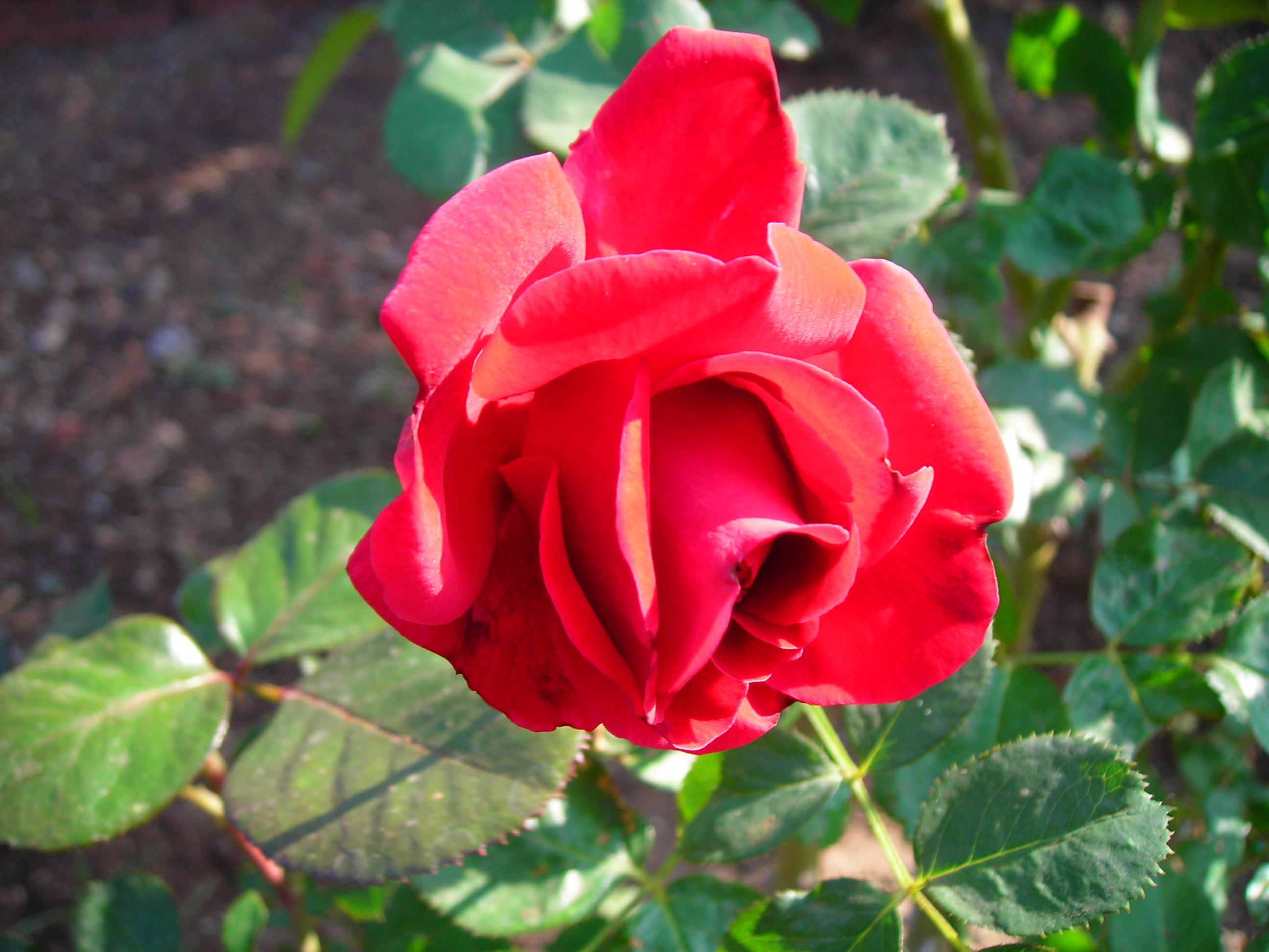 File Red Rose Jpg Wikipedia