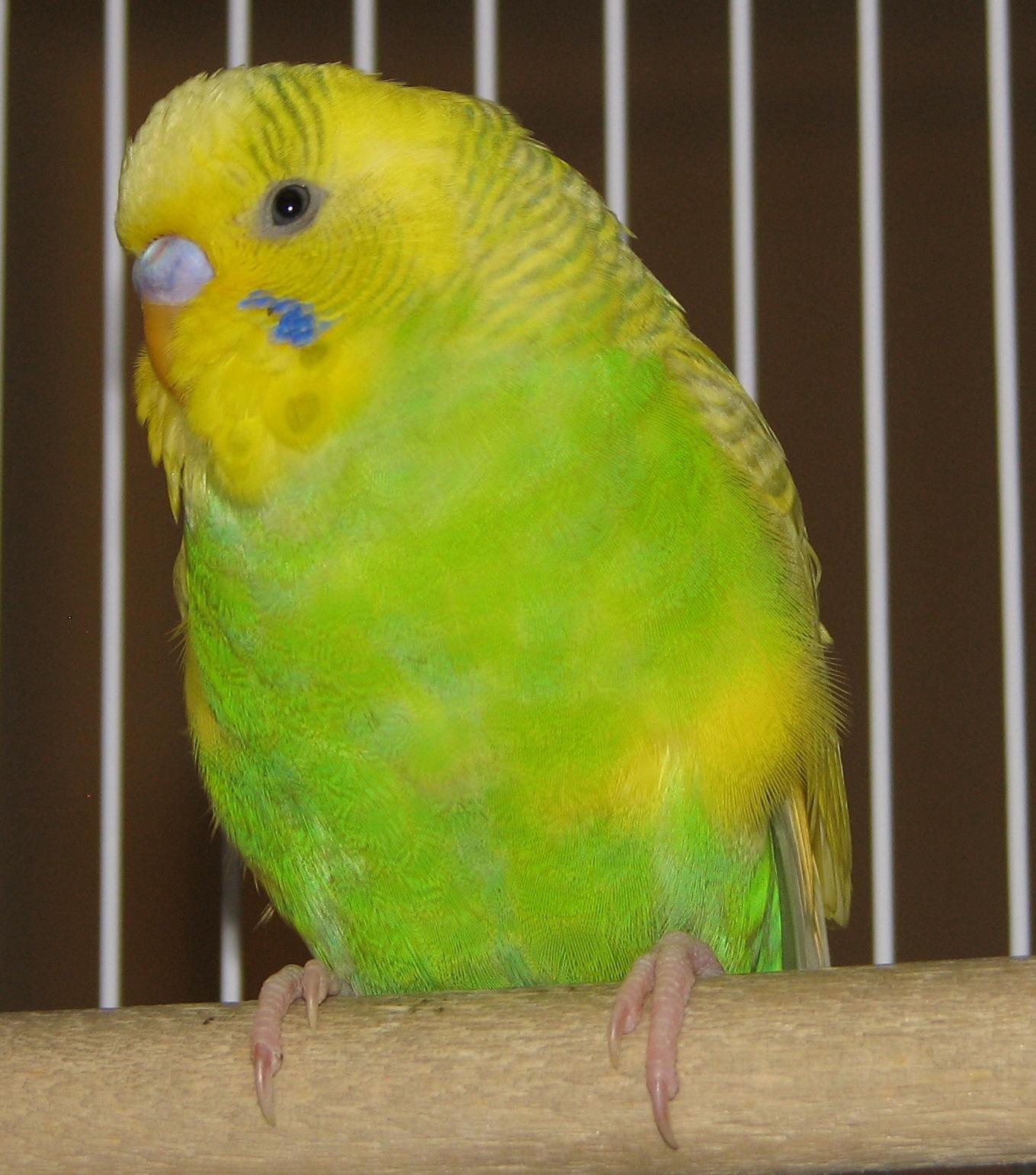 parakeet colors - photo #22