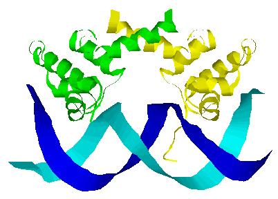 File:Lambda repressor binding DNA.png