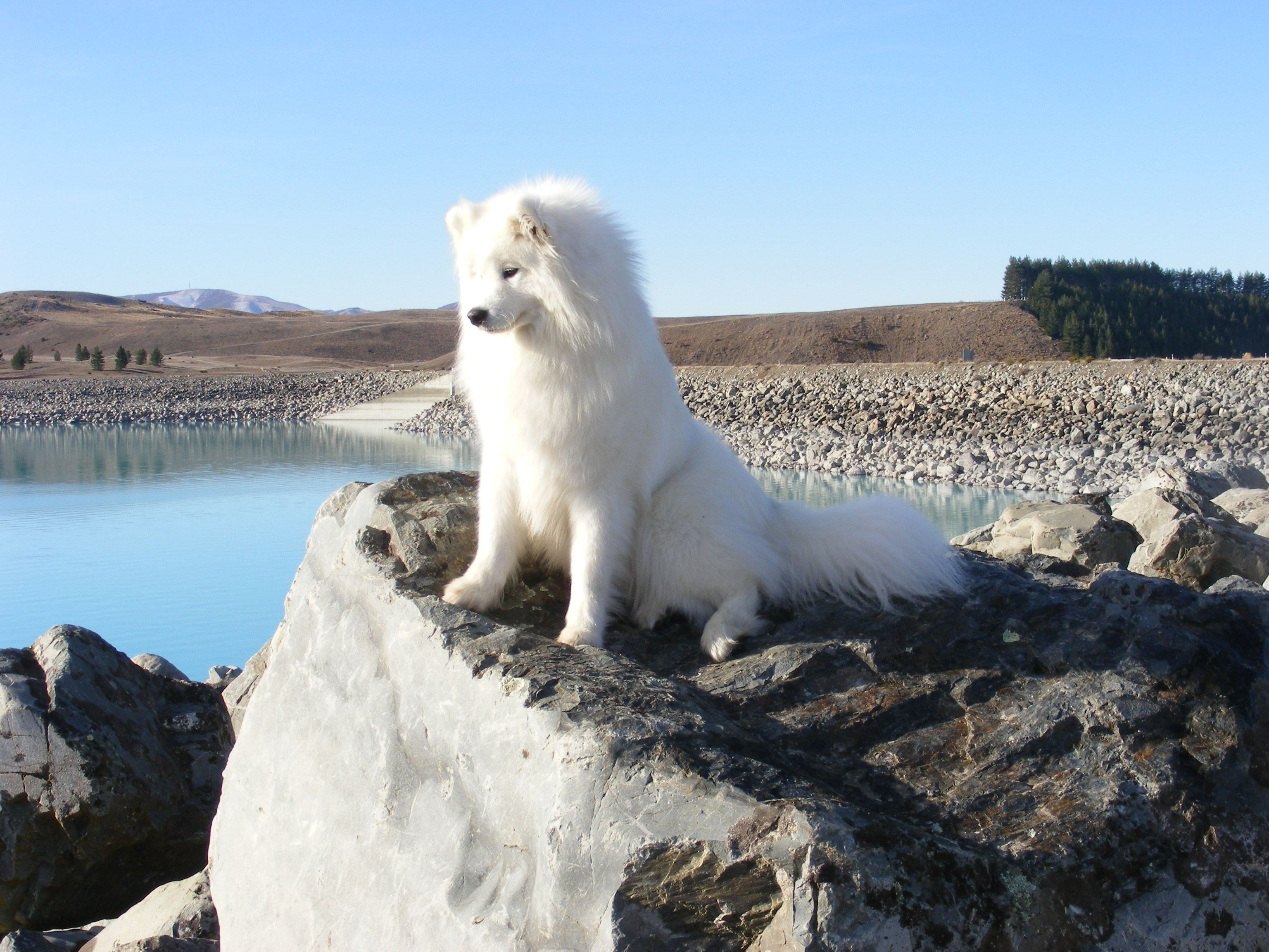 Samoyed Dogs For Sale Nz