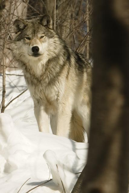 http://upload.wikimedia.org/wikipedia/en/a/a6/Winter_Wolf.jpg