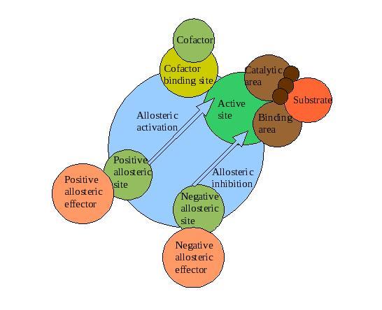 file:enzyme diagram.jpg - wikipedia diagram enzymes
