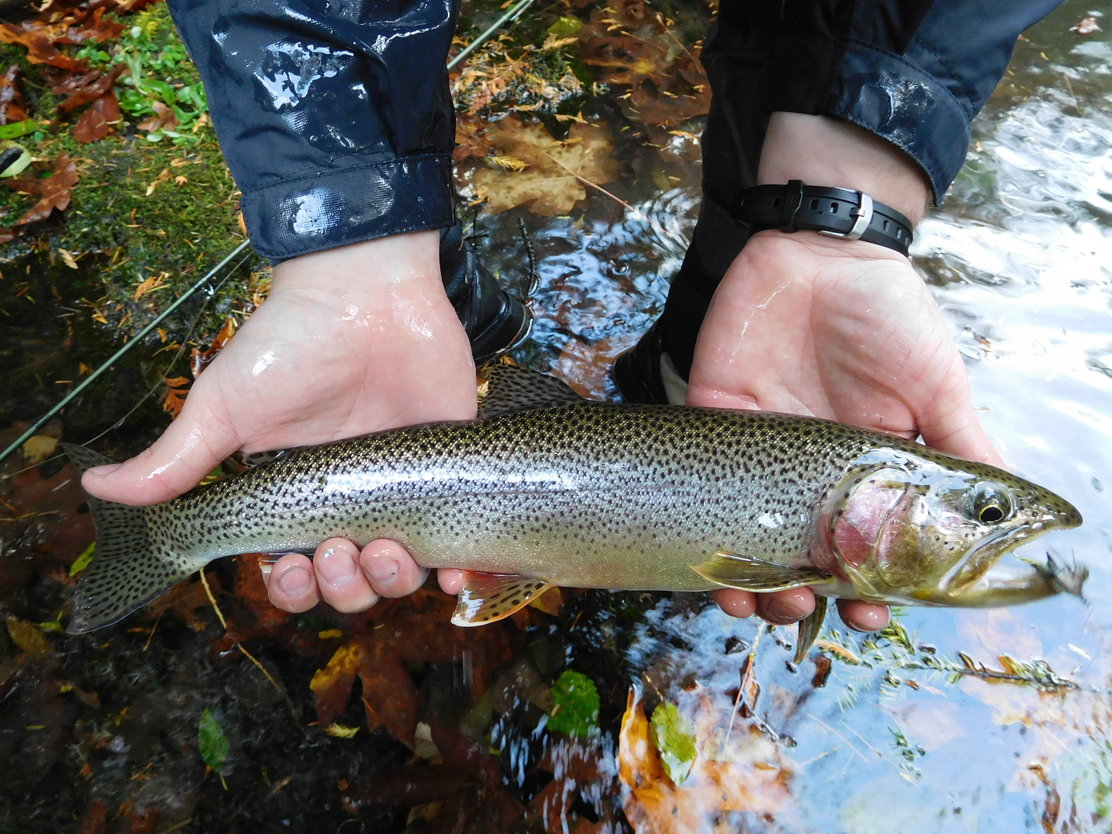 huge selection of 88926 d47e5 Lake Crescent cutthroat trout - Wikipedia