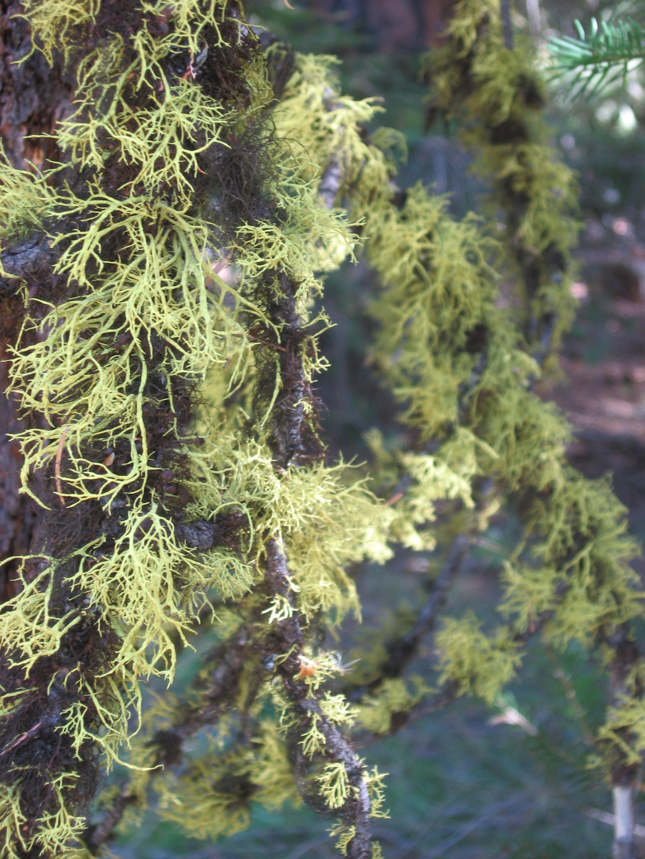 File:Fruticose lichen branches blackpine lake.jpg - Wikipedia