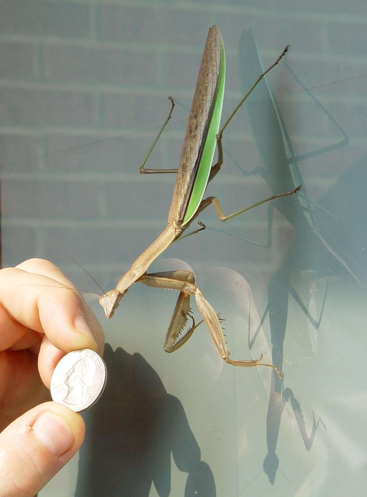File:NG-PrayingMantis.jpg - Wikipedia