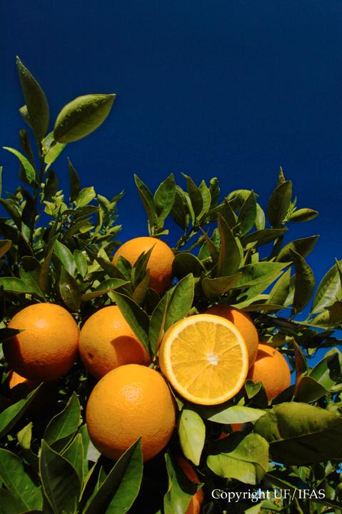 http://en.wikipedia.org/wiki/Orange_(fruit)