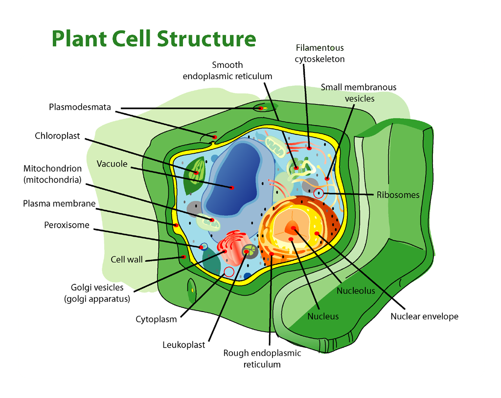 ... wikipedia/en/archive/d/d1/20060526222828!Plant_cell_structure_edit.png