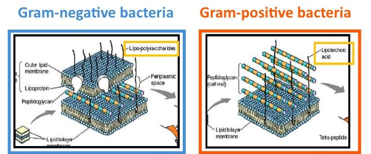Lipoteichoic acid - Wikipedia | 741 x 308 jpeg 199kB