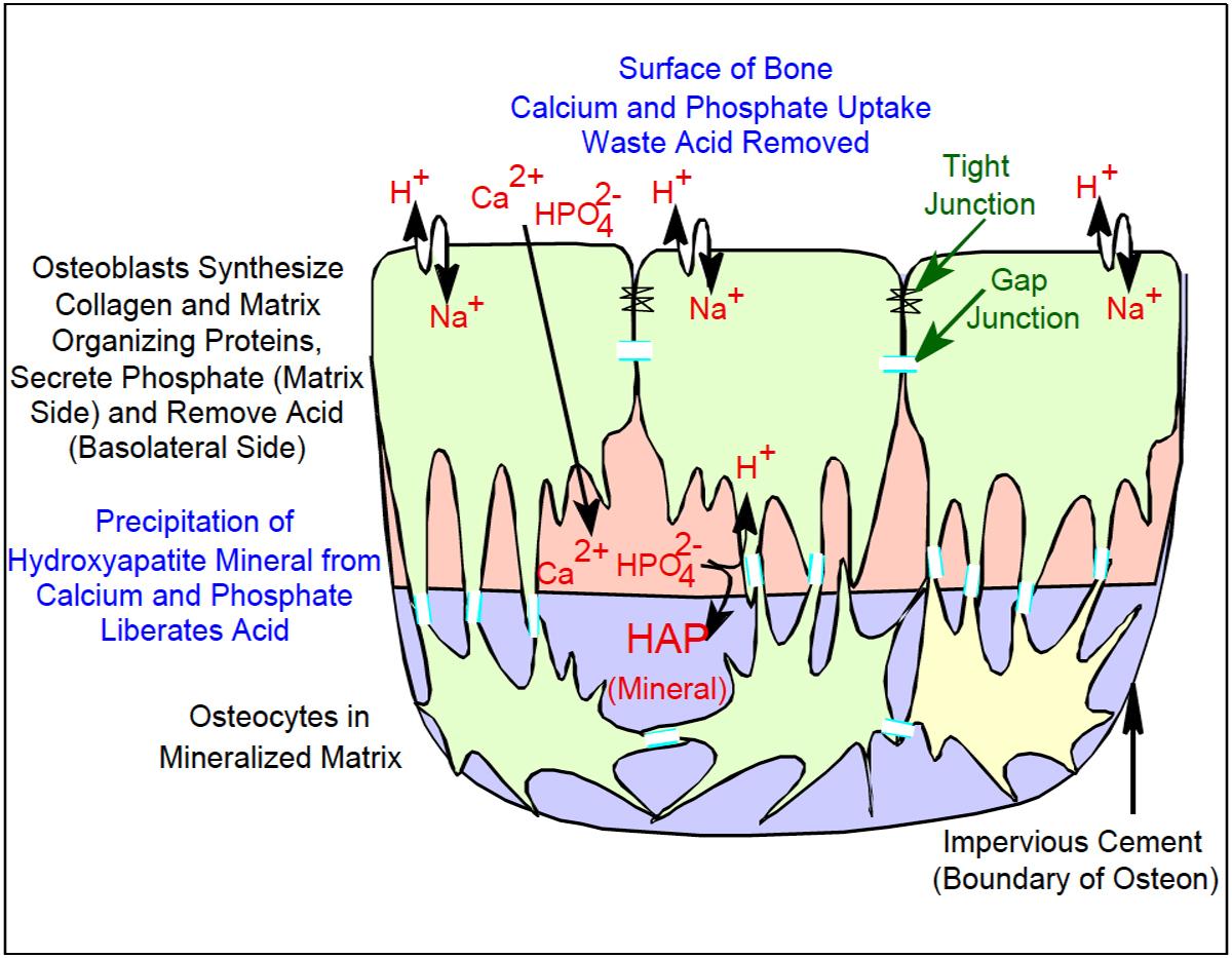 Osteoblast Organization.jpg