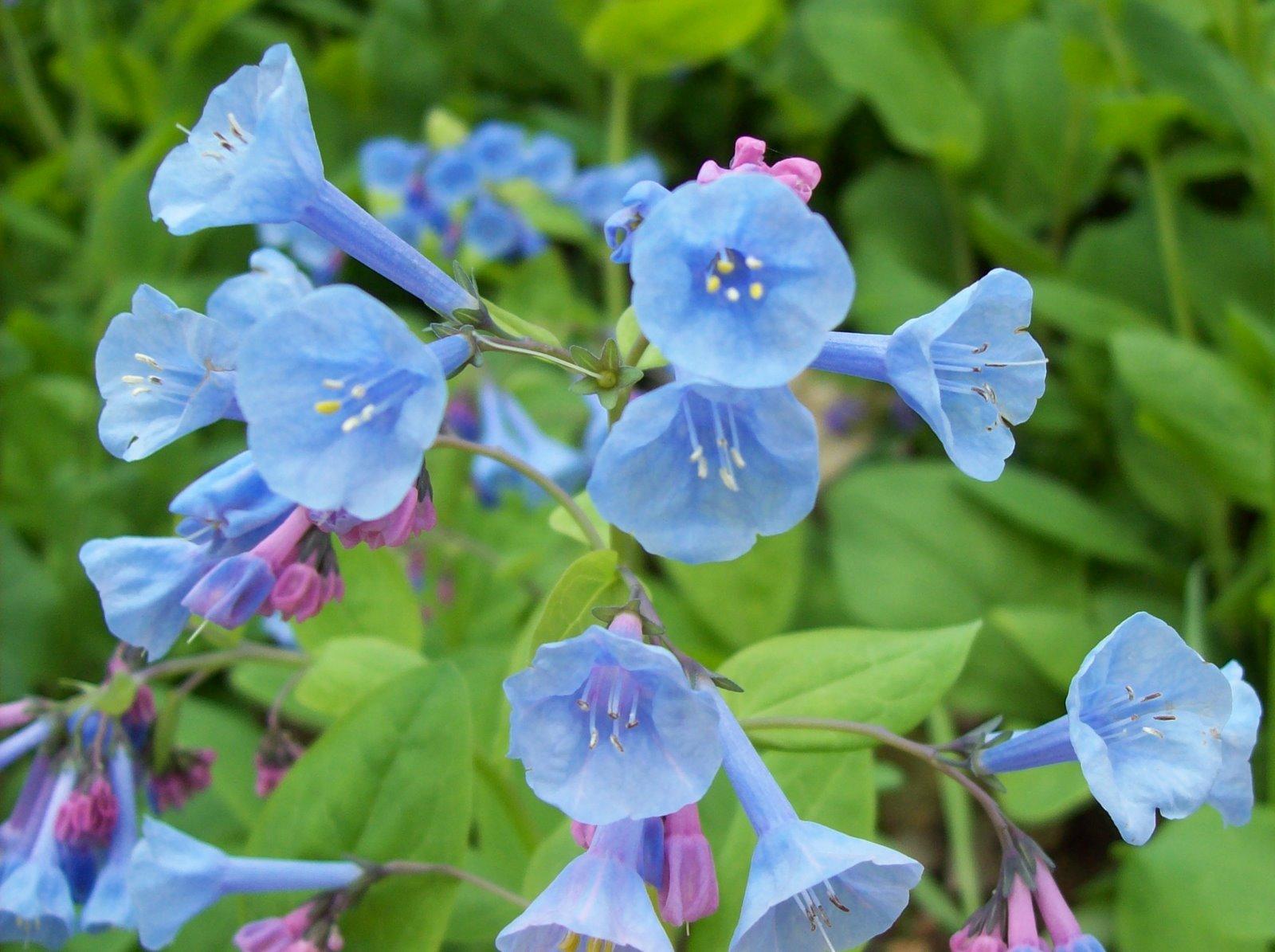 Vicky s Flower Garden Mertensia Virginica Virginia Bluebells