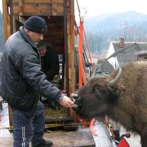 Pubal European bison