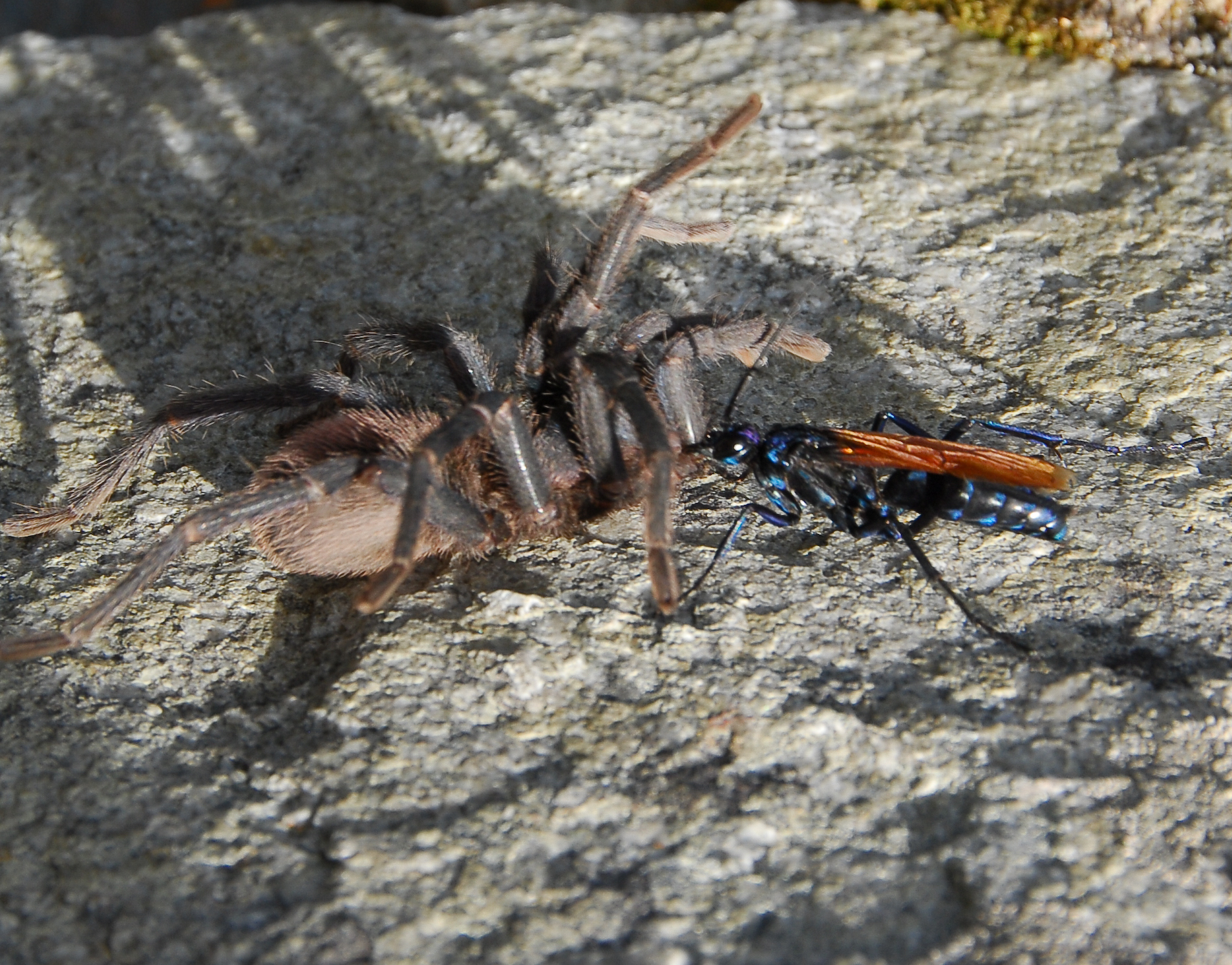 Filetarantula Hawk With Preyjpg Wikipedia