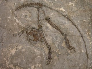 <i>Archicebus</i> Genus of fossil primates that lived in the early Eocene forests (~55 million years ago