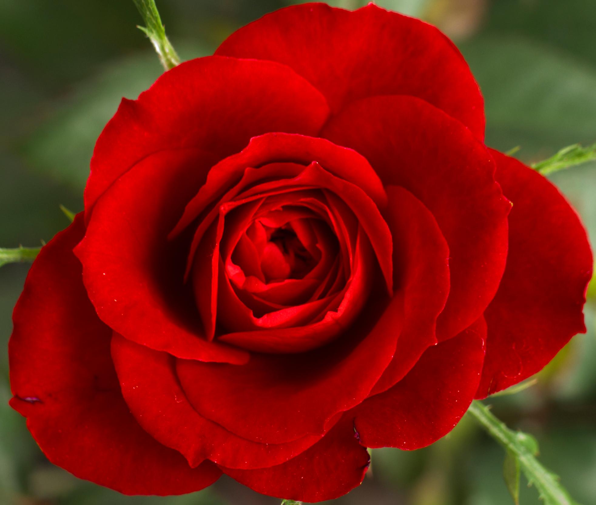 Postavi sliku i zatrazi sledecu - Page 17 Cropped_Small_Red_Rose