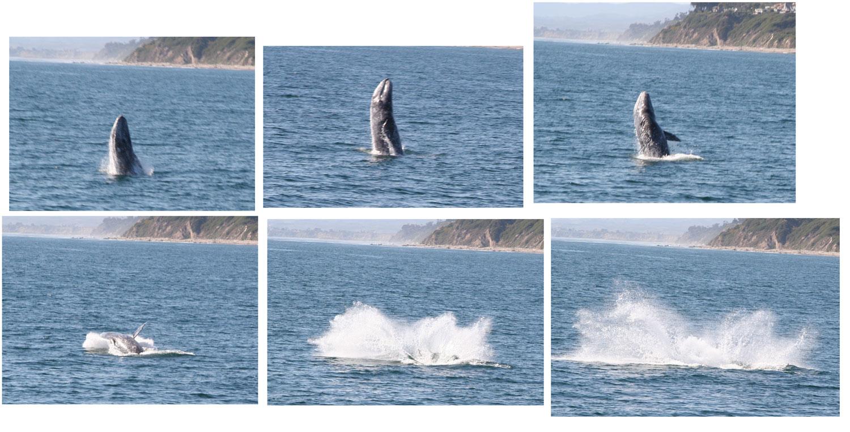 Gray whale - Wikipedia