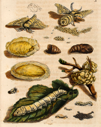 "Plate I of Caterpillars vol 1, entitled ""Maulbeerbaum samt Frucht"". It depicts the fruit and leave of a mulberry tree and the eggs and larvae of the silkworm moth. Maria Sibylla Merian Maulbeerbaum samt Frucht plate 1.png"