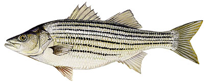 File:Striped Bass 2.jpg