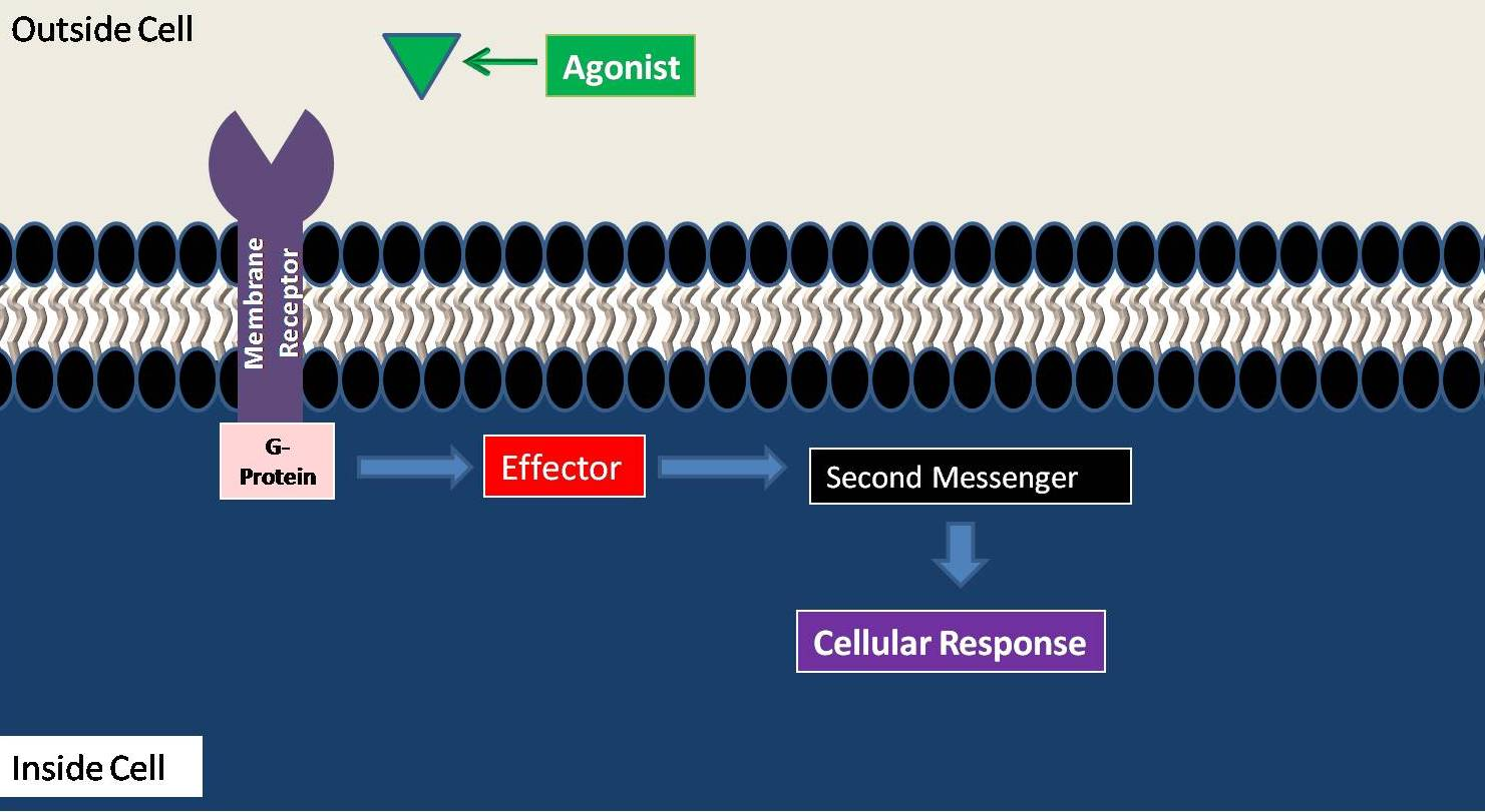 second messenger systems  intracellular second messengers
