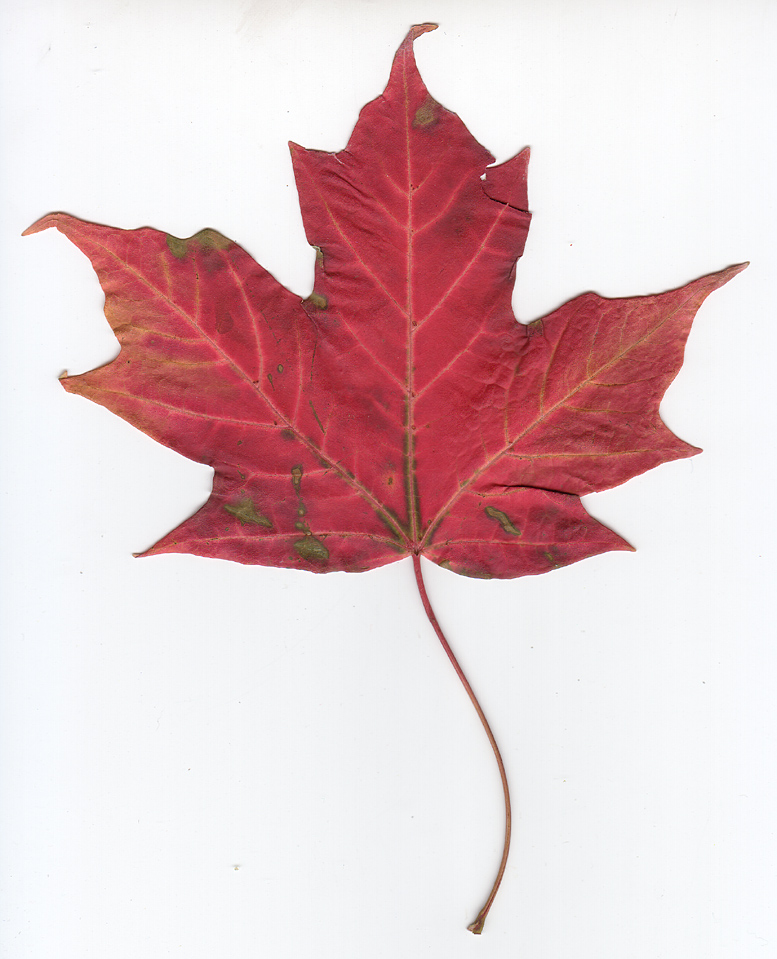 Opinions on Canadian Gold Maple Leaf