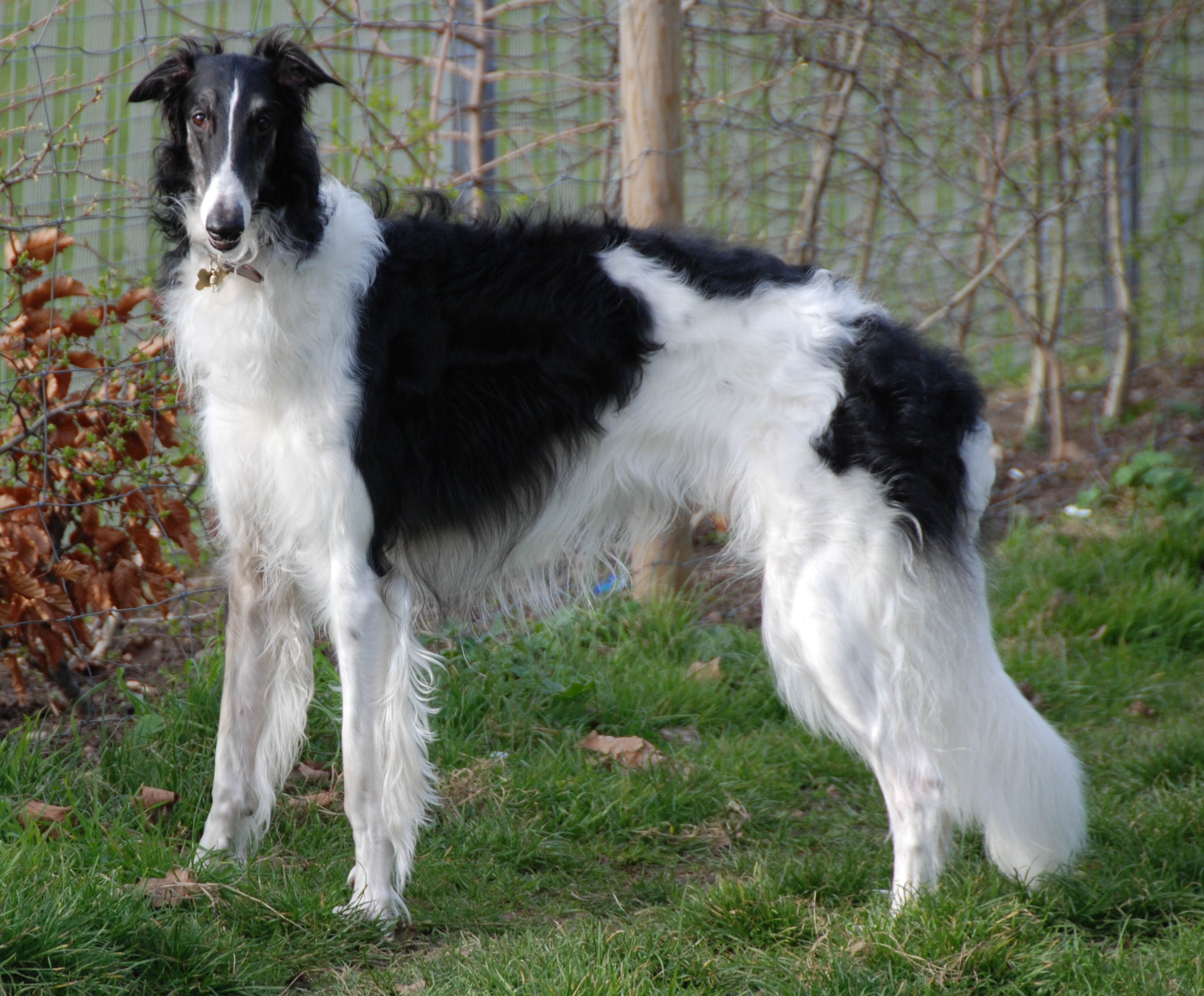 Borzoi Dog Top Dog Breeds