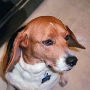 Beagle in profile