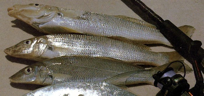 File sand whiting wikipedia for Whiting fish picture