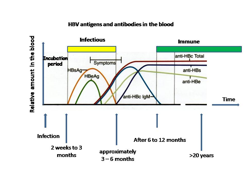 Hepatitis B  Wikipedia