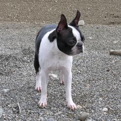 Boston terrier b&W