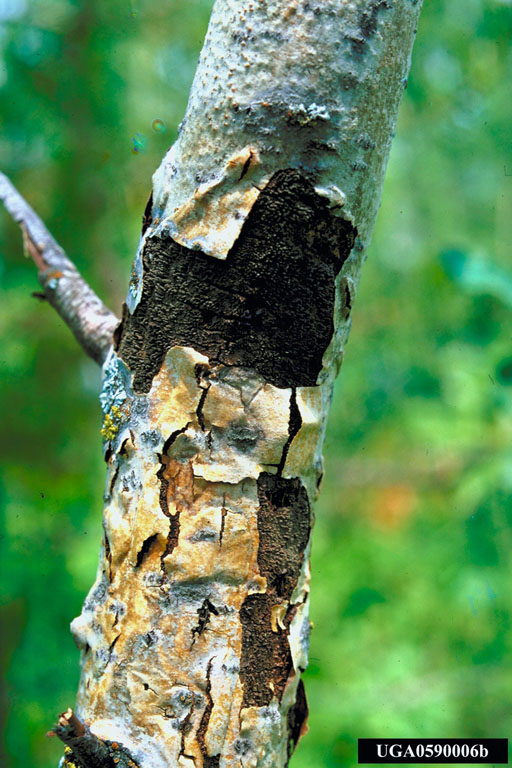 Hypoxylon Canker Of Shade Trees Wikipedia