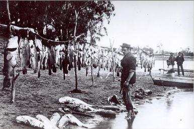 File:Murray cod 1800 lbs Renmark 1898.jpg - Wikipedia