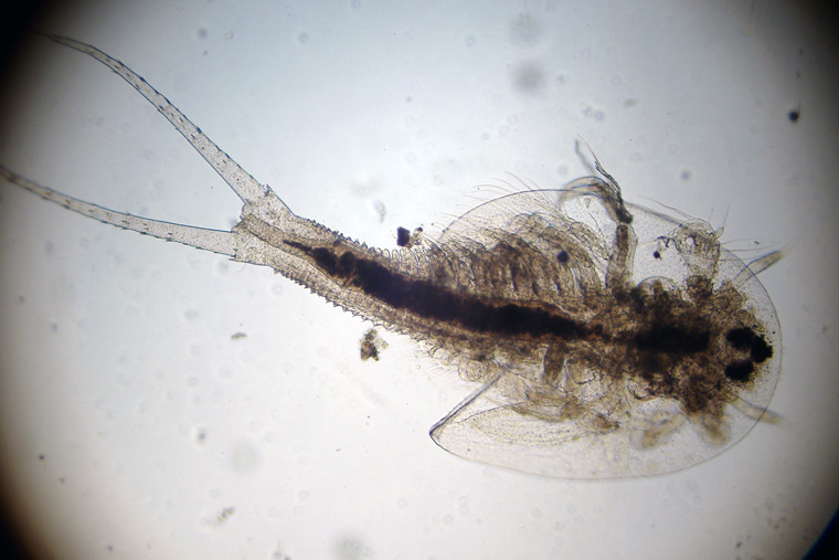 Two Days After Hatching The Triops Has Essentially Completely Taken Appearance Of An Adult
